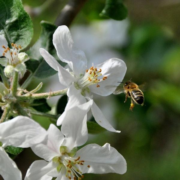 Abeille pollinisant une fleur de pommier