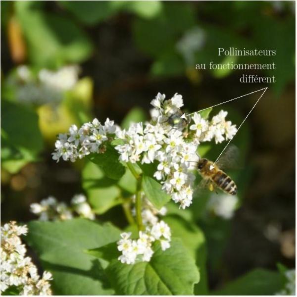 Pollinisateurs au fonctionnement différents